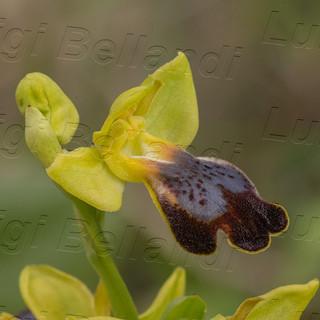 Ophrys--iricolor-1673.jpg