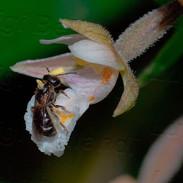 Epipactis--palustris-jpg.jpg