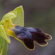 Ophrys-lojaconoi-1737.jpg