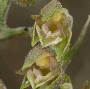 Epipactis--microphylla--1091.jpg