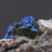 Eritrichium-nano-4458.jpg