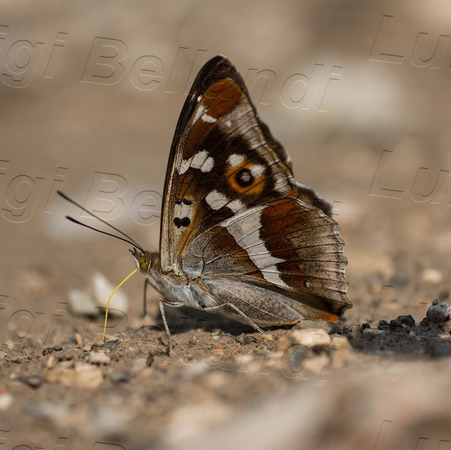 Apatura-iris-5482.jpg