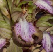 Himantoglossum-robertiano-2015-2.jpg