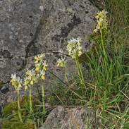 Orchis--pauciflora-2880.jpg