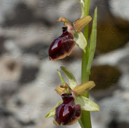 Ophrys-passionis-7878.jpg