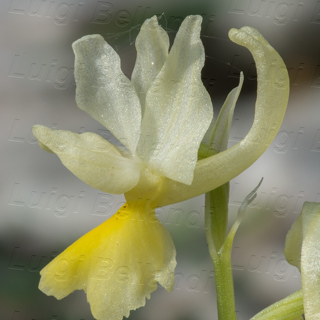 Orchis-pauciflora-8536.jpg
