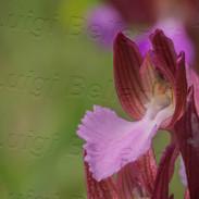 Anacamptis--papilionacea-6332.jpg