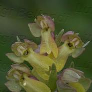 Coeloglossum-viride3038.jpg