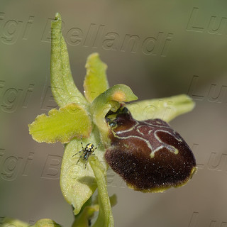 Ophrys--maritima-9242.jpg