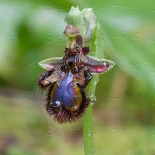 Ophrys--specolum--4355.jpg