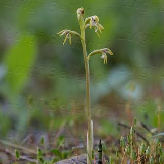 Corallorhiza-trifida-2827.jpg