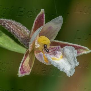 Epipactis-palustris-6849.jpg