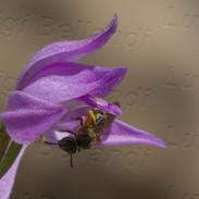 Cephalanthera--rubra-1092.jpg