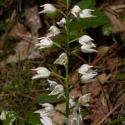 Cephalanthera-longifolia-045.jpg