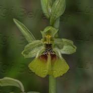 Ophrys-lacaitae-0946.jpg