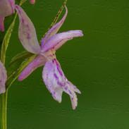 Dactylorhiza-fuchsii--1117.jpg