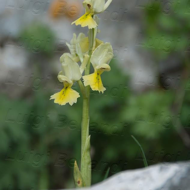 Orchis-pauciflora-8513.jpg