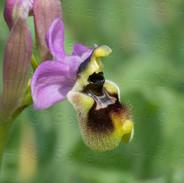 Ophrys-tenthredinifera-8041.jpg