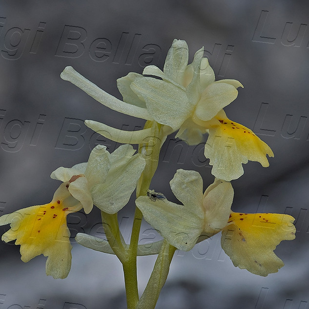 Orchis--pauciflora-2341.jpg