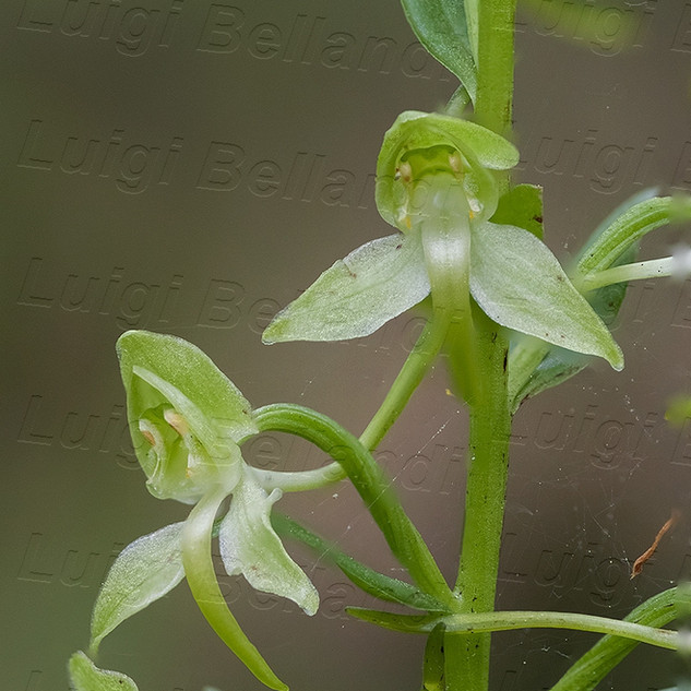 Platanthera--chlorantha-7622.jpg