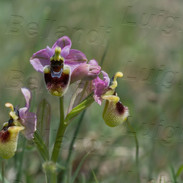 Ophrys--tenthredinifera-6835.jpg