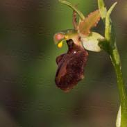Ophrys-Sphegodes-6261.jpg