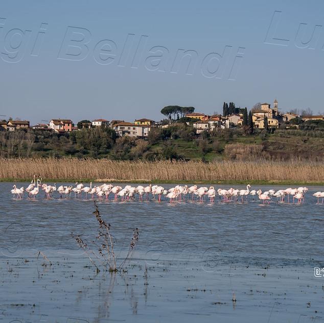 Fenicotteri-a-Massarella-0998.jpg