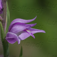 Cephalanthera-rubra-1446.jpg