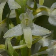 Phlatanthera-bifolia-1725.jpg