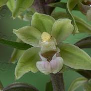 Epipactis-purpurata-7351.jpg