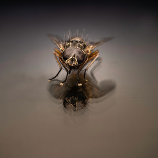 The Fly - Jean-Marc Thirion