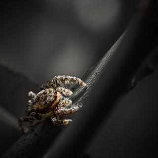 Salticidae - Jean-Marc Thirion
