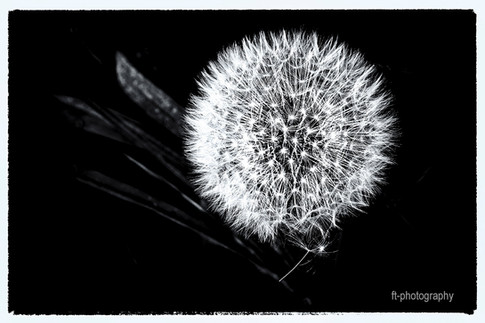 Black and white flower - Francis Thirion