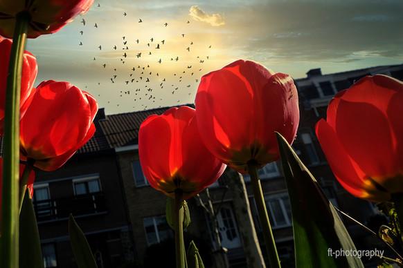 Tulipes - Francis Thirion