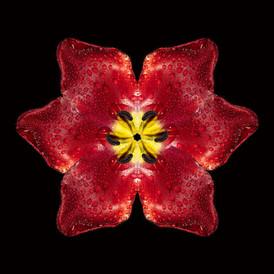 La tulipe - Thierry De Bleye