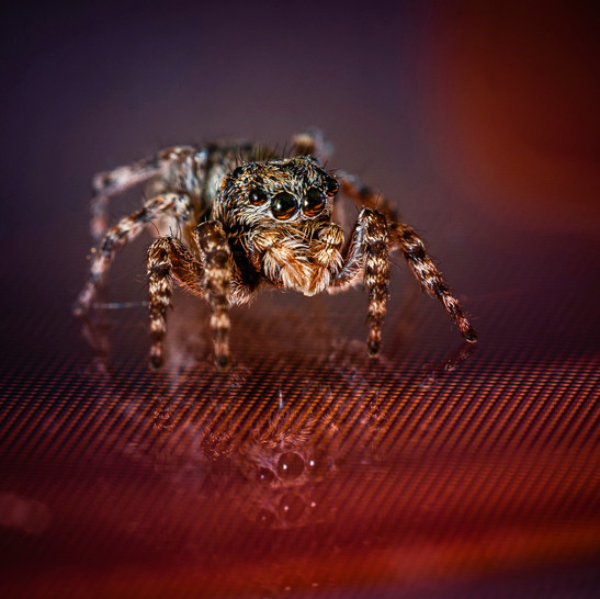 Jumping spider - Jean-Marc Thirion