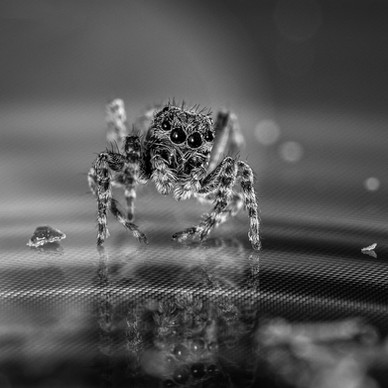 Jumping Spider 2 - Jean-Marc Thirion