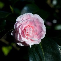 Dripping camellia