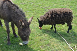 The Donkeys and the Sheep