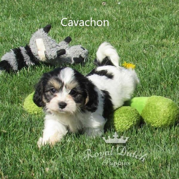 cavachon_maximillian9.JPG