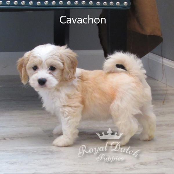 cavachon_marcuslex12.JPG