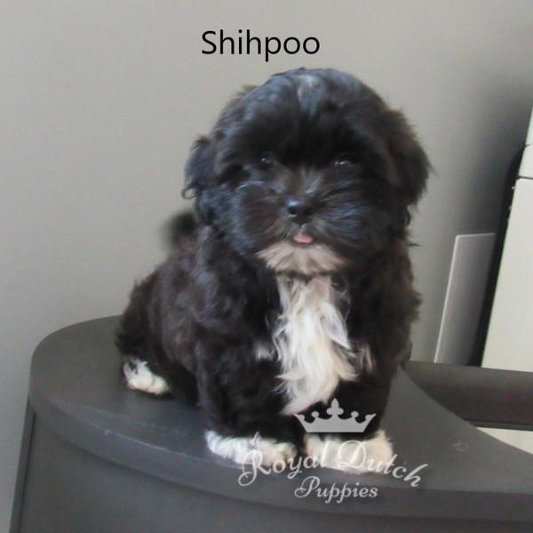 shihpoo_dagger14.JPG