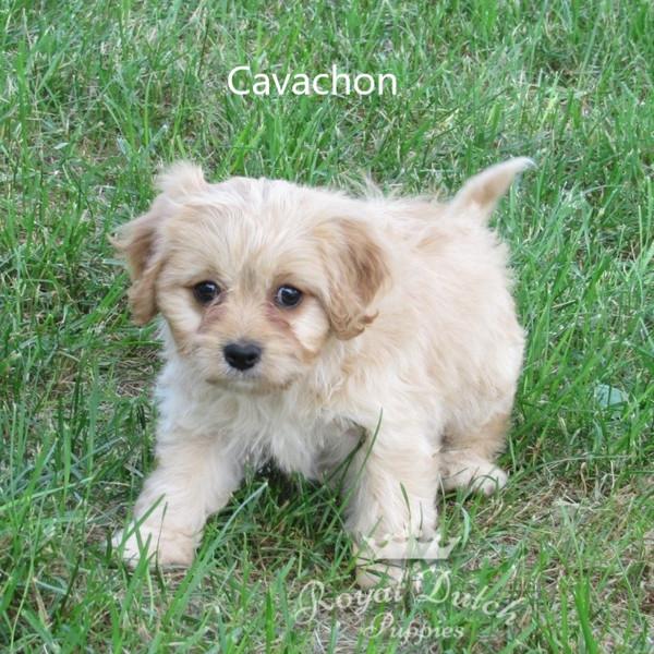 cavachon_clementine8.JPG