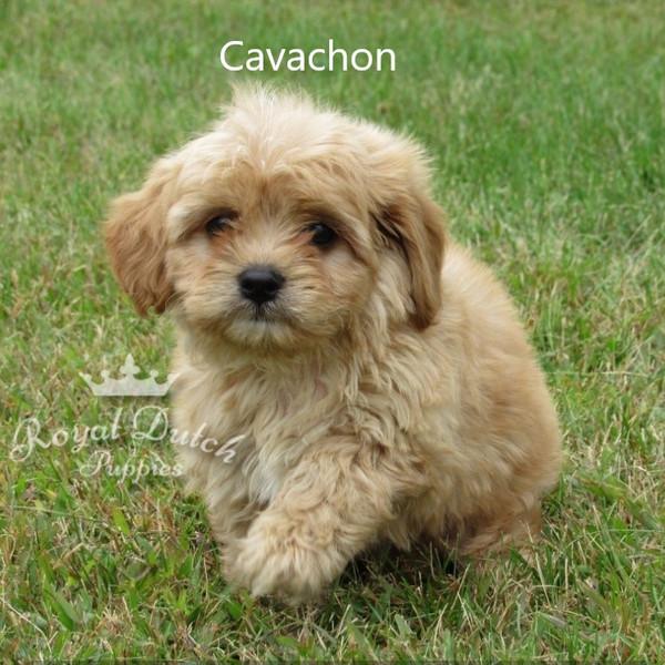 cavachon_davis12b.JPG