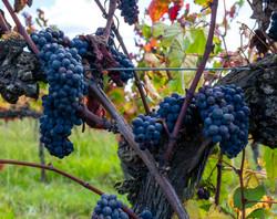 Pinot pre-harvest