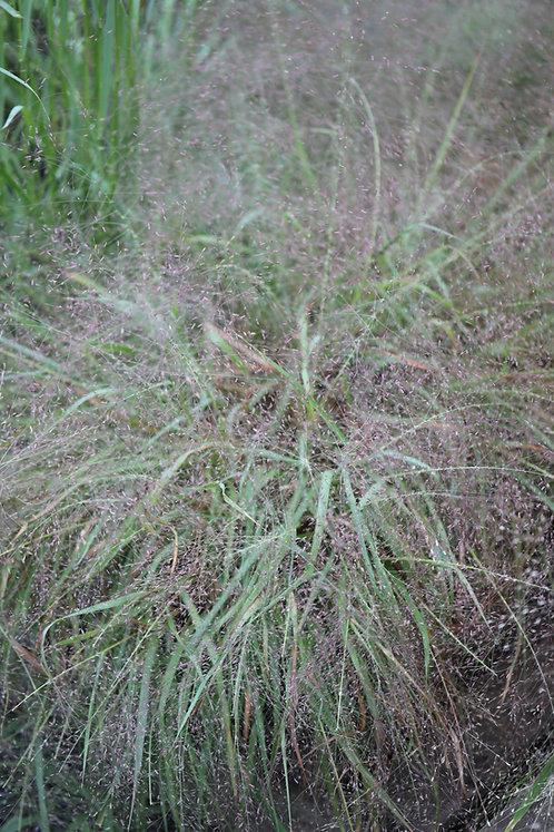 Eragrostis spectabilis (Purple lovegrass)