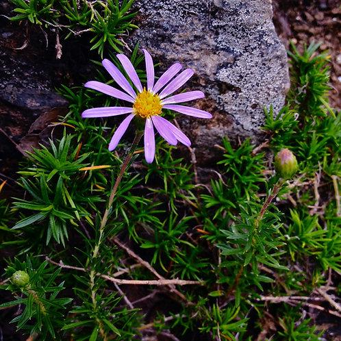 Lonactis linariifolia (Stiff Aster)