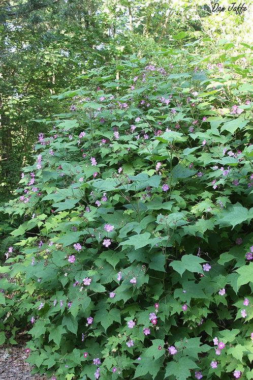 Rubus odoratus (Purple flowering raspberry)