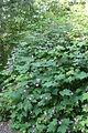 Rubus_odoratus_DanJaffeSigned_02.jpg