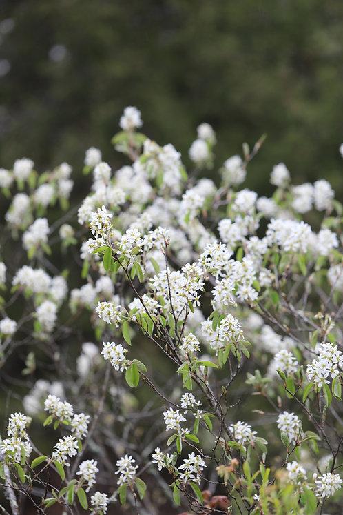 Amelanchier canadensis (Serviceberry/Shadblow)